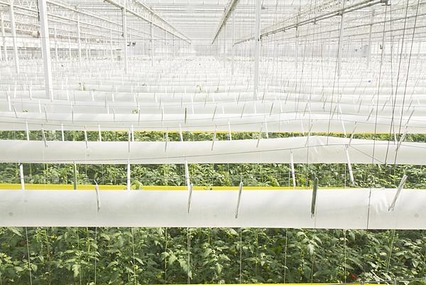 番茄方舟獨家「琥番茄」發表 茄紅素倍增高營養價值7.png