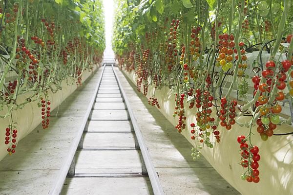 番茄方舟獨家「琥番茄」發表 茄紅素倍增高營養價值8.png