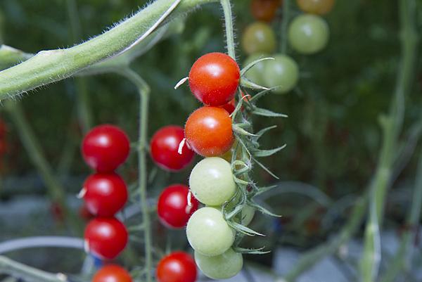 番茄方舟獨家「琥番茄」發表 茄紅素倍增高營養價值9.png