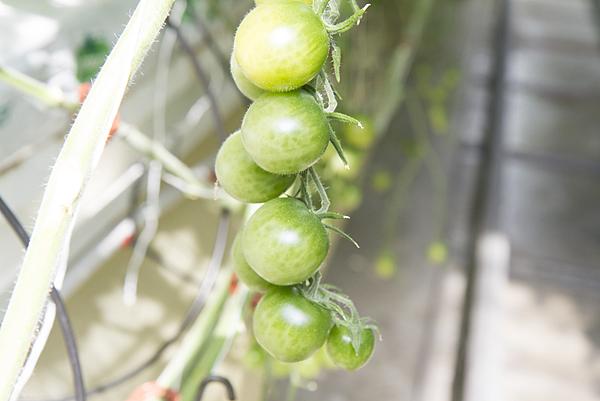 番茄方舟獨家「琥番茄」發表 茄紅素倍增高營養價值11.png