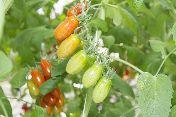 番茄方舟獨家「琥番茄」發表 茄紅素倍增高營養價值10.png
