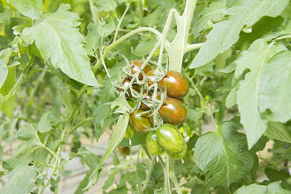 番茄方舟獨家「琥番茄」發表 茄紅素倍增高營養價值12.png
