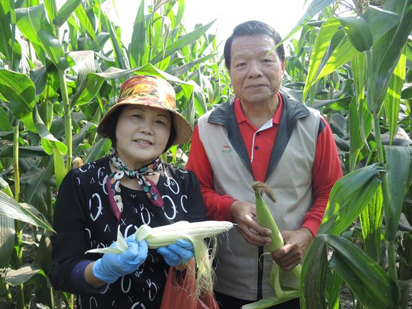 二水農會採玉蜀黍做公益 玉米每穗5元撿便宜做愛心5.png