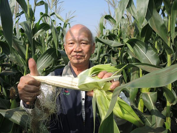 二水農會採玉蜀黍做公益 玉米每穗5元撿便宜做愛心4.png
