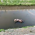花壇鄉斑鳩路水溝發現豬屍 是否感染非洲豬瘟化驗最快明日出爐2.png