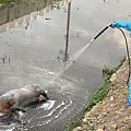 花壇鄉斑鳩路水溝發現豬屍 是否感染非洲豬瘟化驗最快明日出爐1.png