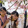 芬園花卉園區賞櫻 一睹櫻花嬌顏3.png