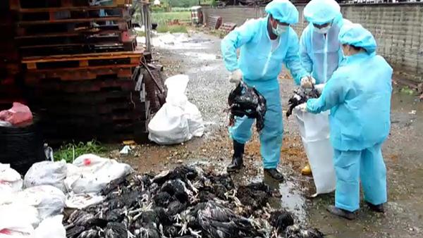 彰化大城鄉爆發土雞禽流感 撲殺逾1萬8千隻1.png