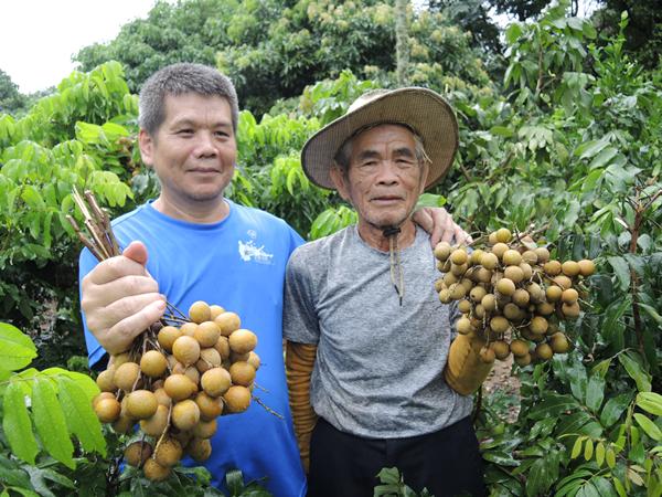 龍眼果樹矮化管理技術推廣 助果農穩定龍眼產量與品質2.png