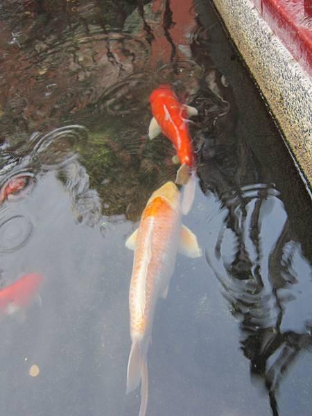 鹿港天后宮天龍池裡的錦鯉