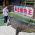 大寶貝好勇敢跟大鱷魚合照