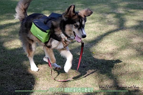 20111204桃園綠風草原狗聚
