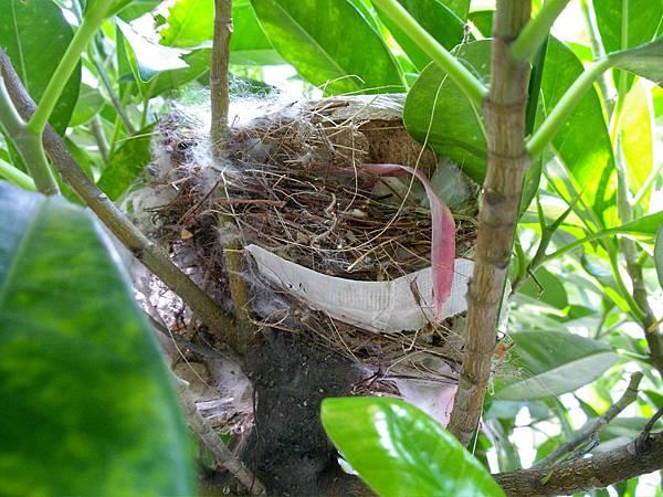 鳥窩築在樹中間,其實還挺隱密的,不過材料還真是五花八門......