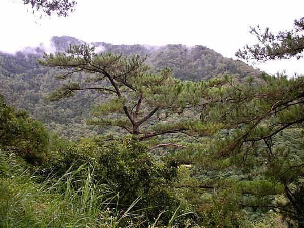 蒼勁的松樹