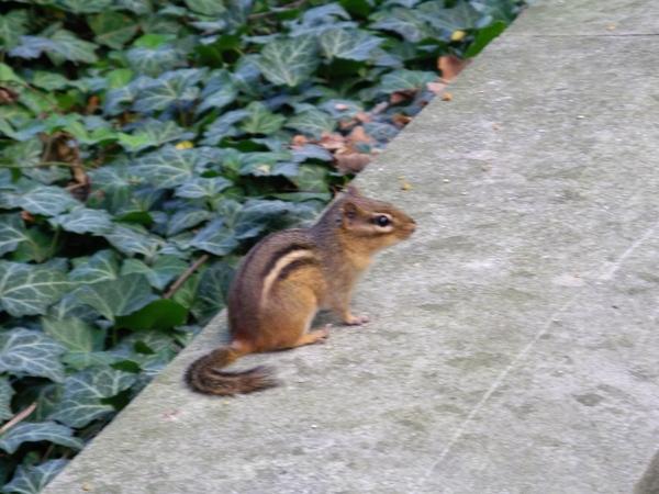 花栗鼠(chipmunk)