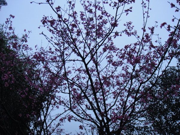 哇~山上的櫻花都開了呢!