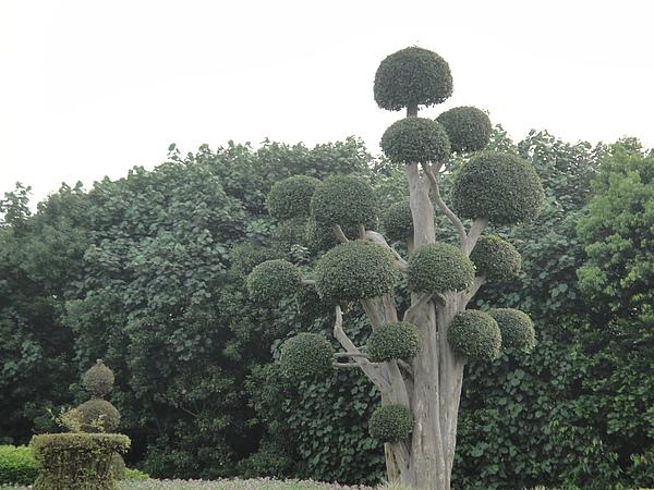 我竟然會問思思..這樹好酷唷!本來就長這樣嗎?=.=