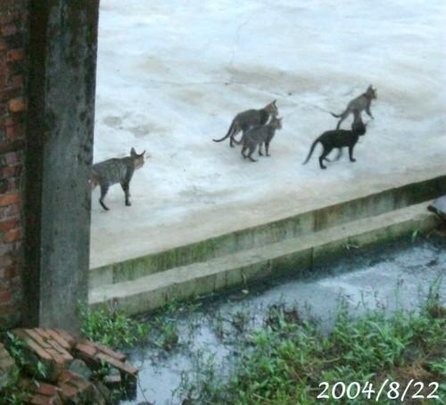 20040822小虎斑一家