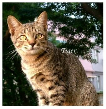 200411-tiger.JPG