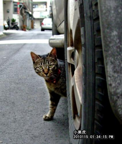 2010115-小黑虎1.JPG