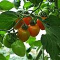 20140216-清香採草莓-12