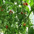 20140216-清香採草莓-11