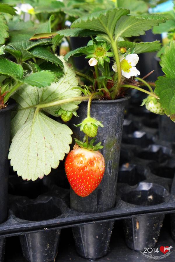 20140216-清香採草莓-10
