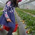 20140216-清香採草莓-07