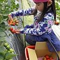 20140216-清香採草莓-06