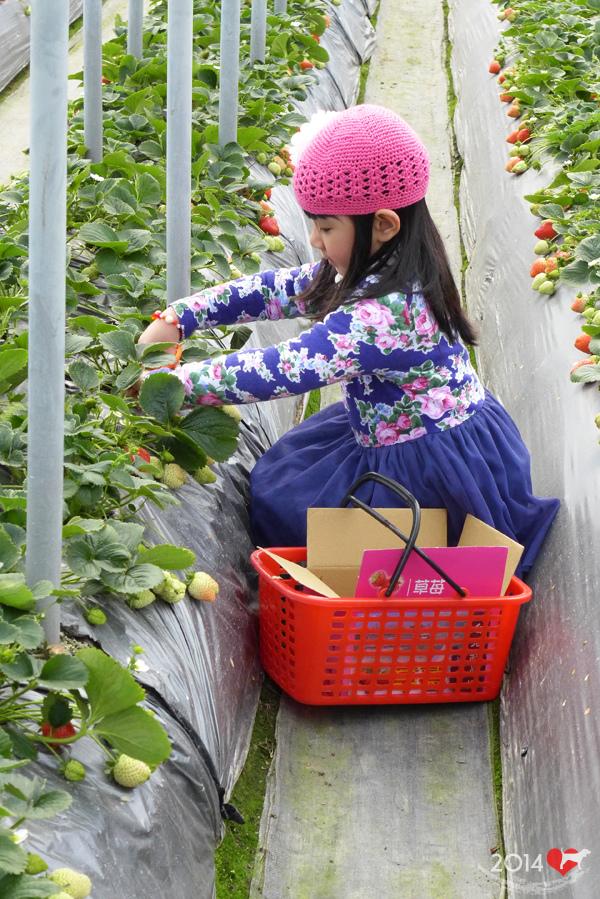 20140216-清香採草莓-05