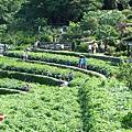 20140531-竹子湖採繡球花-03.jpg