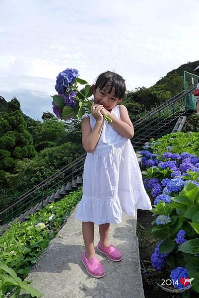 20140531-竹子湖採繡球花-14.jpg