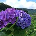 20140531-竹子湖採繡球花-16.jpg