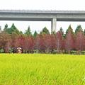 20141113-霧峰落羽松林-11