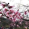 20160219-武陵賞櫻22.jpg