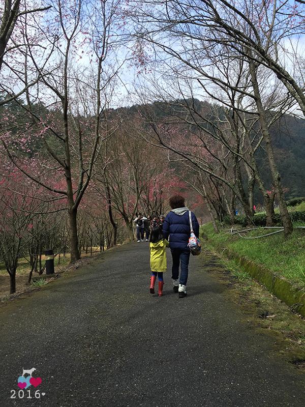 20160219-武陵賞櫻19.jpg