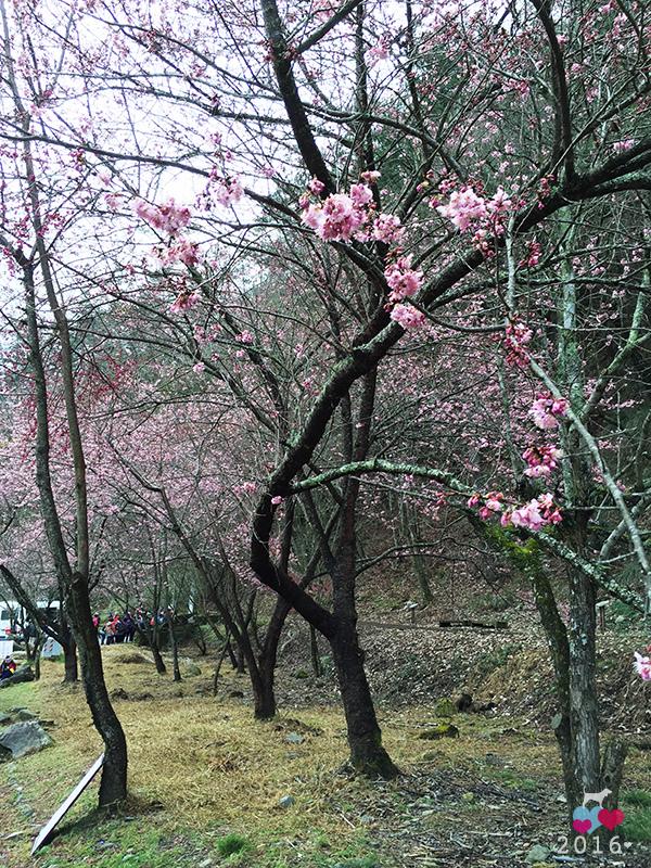 20160219-武陵賞櫻14.jpg