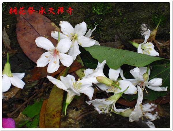 桐花祭承天禪寺 12