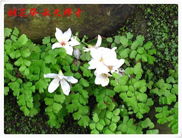 桐花祭承天禪寺 15