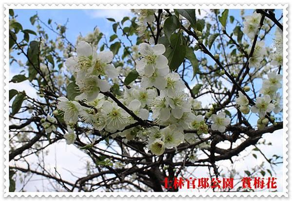 士林官邸公園賞梅花 18
