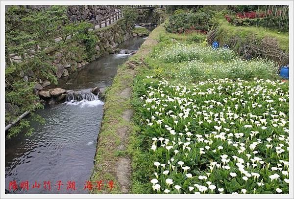 陽明山竹子湖海芋季 04
