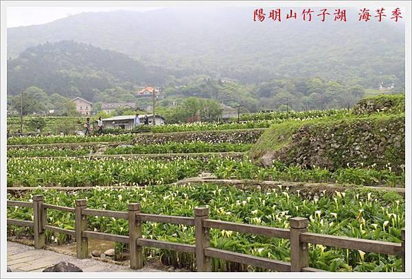陽明山竹子湖海芋季 05