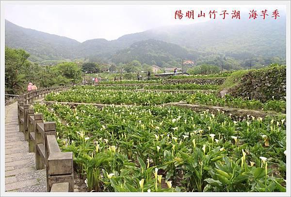 陽明山竹子湖海芋季 06