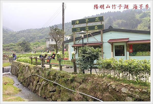 陽明山竹子湖海芋季 09