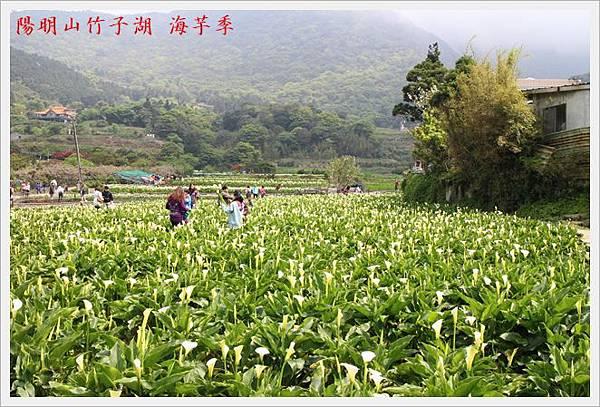 陽明山竹子湖海芋季 12