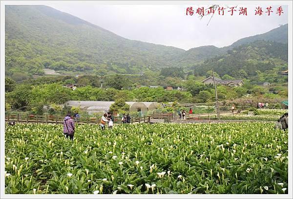 陽明山竹子湖海芋季 13