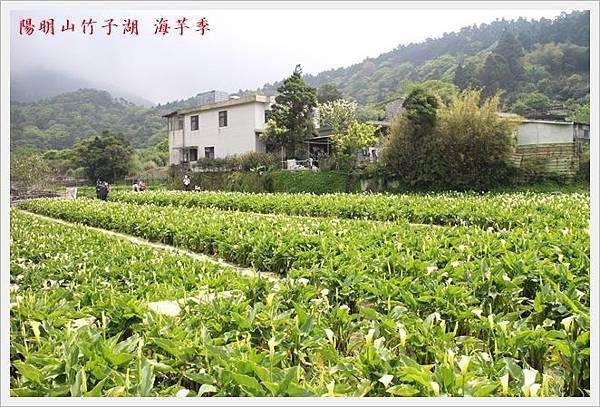 陽明山竹子湖海芋季 11