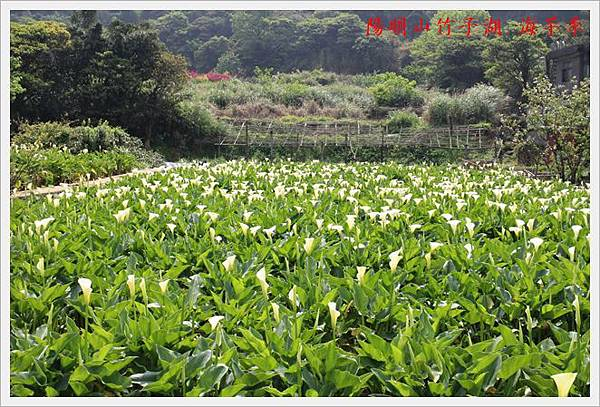 陽明山竹子湖海芋季 17