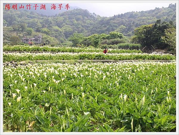 陽明山竹子湖海芋季 16