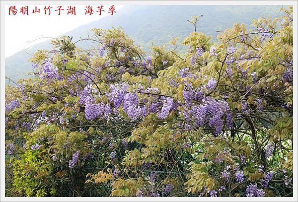 陽明山竹子湖海芋季 18
